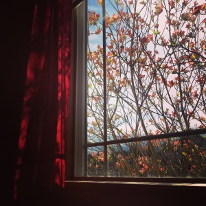 The current view from my writing nook. The dogwood are in bloom and staring out the window makes me want to write something magical.